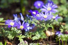 το anemone ανθίζει τα ιαπωνικά Στοκ εικόνα με δικαίωμα ελεύθερης χρήσης