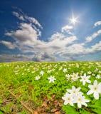 Το Anemones ανθίζει clearingunder το μπλε ουρανό Στοκ Εικόνα