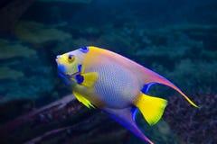 Το angelfish Στοκ Φωτογραφία