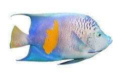Το Angelfish (Pomacanthus). Στοκ Εικόνες