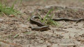 Το Anguis fragilis, ή το αργό σκουλήκι, είναι μια χωρίς άκρα σαύρα όπως το φίδι απόθεμα βίντεο