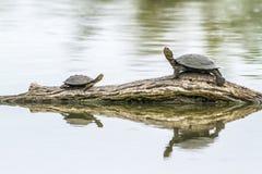 Το Angulate στο εθνικό πάρκο Kruger, Νότια Αφρική Στοκ Εικόνες