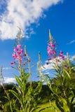 Το angustifolium Chamaenerion, μεγάλο willowherb, ρόδινα λουλούδια ενάντια στο σκούρο μπλε θερινό ουρανό οδοντώνει τα λουλούδια ε Στοκ εικόνα με δικαίωμα ελεύθερης χρήσης