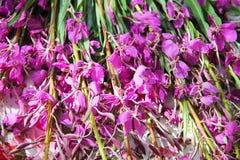Το angustifolium Chamerion - ένα φωτεινό ρόδινο αιώνιο χορτάρι λουλουδιών Στοκ εικόνα με δικαίωμα ελεύθερης χρήσης