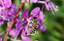 Το angustifolium Chamerion χορταριών ιτιών εγκαταστάσεων είναι ανθίζοντας και η μέλισσα επικονιάζει το λουλούδι Στοκ Φωτογραφίες