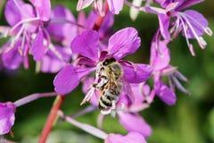 Το angustifolium Chamerion χορταριών ιτιών εγκαταστάσεων είναι ανθίζοντας και η μέλισσα επικονιάζει το λουλούδι Στοκ εικόνες με δικαίωμα ελεύθερης χρήσης