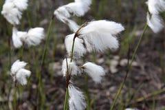 Το angustifolium Eriophorum, Cyperacea είναι εγκαταστάσεις στο νορβηγικό βουνό Στοκ φωτογραφίες με δικαίωμα ελεύθερης χρήσης