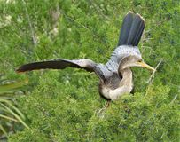 Το anhinga ανήκει σε μια διαταγή της ψάρι-κατανάλωσης των waterbirds που περιλαμβάνει τους πελεκάνους, gannets, τους τσικνιάδες,  στοκ φωτογραφία με δικαίωμα ελεύθερης χρήσης