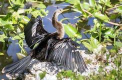 Το Anhinga ξεραίνει τα φτερά του Στοκ Φωτογραφίες