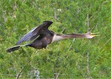 Το anhinga στηρίζεται στους κοντινούς κλάδους για να ξεράνει τα φτερά του στοκ εικόνα με δικαίωμα ελεύθερης χρήσης
