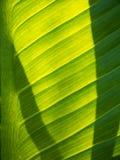 Το Anthurium κρυστάλλου φύλλο και η σκιά Στοκ Εικόνες