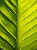 Το Anthurium κρυστάλλου φύλλο και η σκιά Στοκ φωτογραφία με δικαίωμα ελεύθερης χρήσης