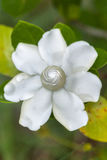 Το antidysenterica Wrightia/είναι ένα ανθίζοντας φυτό στο γένος Wri στοκ φωτογραφία με δικαίωμα ελεύθερης χρήσης