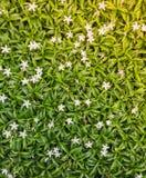 Το antidysenterica Wrightia, Snowflake, γαλακτώδης τρόπος, αρκτικό χιόνι, κερδίζει Στοκ φωτογραφία με δικαίωμα ελεύθερης χρήσης