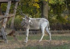 Το Antilopa τρώει το σανό Στοκ εικόνα με δικαίωμα ελεύθερης χρήσης