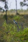 το aphelocoma coerulescens Φλώριδα jay τρίβει στοκ φωτογραφία