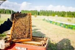 Το Apiarist, μελισσοκόμος κρατά την κηρήθρα με τις μέλισσες Στοκ φωτογραφία με δικαίωμα ελεύθερης χρήσης