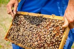 Το Apiarist, μελισσοκόμος κρατά τη χωρίς γάντια κηρήθρα με τις μέλισσες Στοκ εικόνες με δικαίωμα ελεύθερης χρήσης