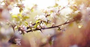 Το apple-δέντρο ανθίζει την άνοιξη Στοκ φωτογραφίες με δικαίωμα ελεύθερης χρήσης
