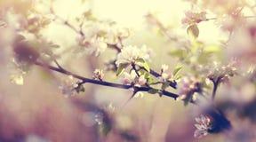 Το apple-δέντρο ανθίζει την άνοιξη Στοκ εικόνες με δικαίωμα ελεύθερης χρήσης