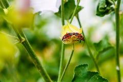 Το apterus Pyrrhocoris σέρνεται σε ένα λουλούδι Στοκ φωτογραφία με δικαίωμα ελεύθερης χρήσης