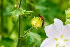 Το apterus Pyrrhocoris σέρνεται σε ένα λουλούδι Στοκ φωτογραφίες με δικαίωμα ελεύθερης χρήσης