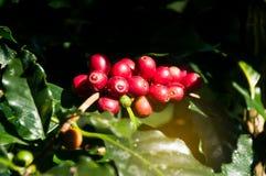το arabica φασόλι καφέ στο δέντρο καφέ στον κήπο με το NA Στοκ Εικόνα