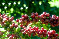 το arabica φασόλι καφέ στο δέντρο καφέ στον κήπο Στοκ Εικόνες