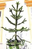 Το araucana αροκαριών δέντρων αυξάνεται στη σκάφη Στοκ εικόνες με δικαίωμα ελεύθερης χρήσης