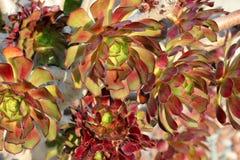 Το arboreum Aeonium, aeonium δέντρων, δέντρο houseleek, ιρλανδικά αυξήθηκε Στοκ Εικόνες