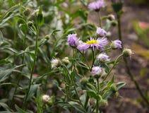 Το Arctotis, θερινά λουλούδια στο outdoo κήπων Στοκ Εικόνες