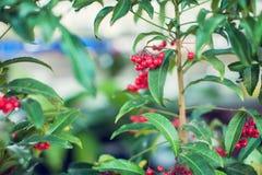 Το Ardisia Crenata Myrsinaceae φυτεύει το μικρό και φωτεινό κόκκινο frui Στοκ φωτογραφίες με δικαίωμα ελεύθερης χρήσης