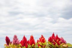 Το argentea Celosia στον ουρανό είχε συννεφιά Στοκ εικόνες με δικαίωμα ελεύθερης χρήσης
