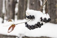 Το Aronia καλύπτεται με έναν πρώτο με το χνουδωτό χιόνι στις αγροτικές περιοχές ο Στοκ φωτογραφία με δικαίωμα ελεύθερης χρήσης