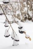 Το Aronia καλύπτεται με έναν πρώτο με το χνουδωτό χιόνι στον κήπο Στοκ Εικόνες