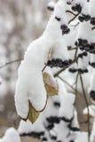 Το Aronia καλύπτεται με έναν πρώτο με το χνουδωτό χιόνι στον κήπο Στοκ εικόνα με δικαίωμα ελεύθερης χρήσης