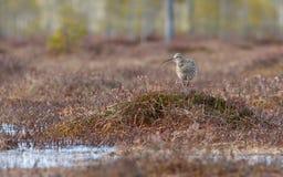 Το arquata Numenius σιγλίγουρων πουλιών τραγουδά στο έλος Στοκ Φωτογραφία