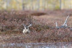 Το arquata Numenius σιγλίγουρων πουλιών τραγουδά στο έλος Στοκ εικόνες με δικαίωμα ελεύθερης χρήσης