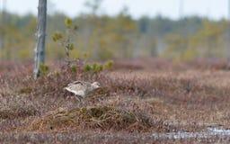 Το arquata Numenius σιγλίγουρων πουλιών τραγουδά στο έλος Στοκ Φωτογραφίες