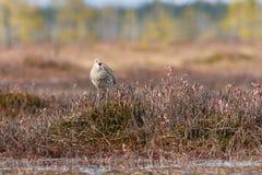 Το arquata Numenius σιγλίγουρων πουλιών τραγουδά στο έλος Στοκ φωτογραφία με δικαίωμα ελεύθερης χρήσης