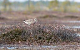 Το arquata Numenius σιγλίγουρων πουλιών τραγουδά στο έλος Στοκ Εικόνες
