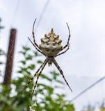 Το aurantia Argiope ειδών αραχνών είναι συνήθως γνωστό ως κίτρινη αράχνη κήπων, αράχνη γραψίματος, αράχνη καλαμποκιού Στοκ Εικόνες