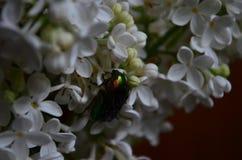 Το aurata Cetonia ή αυξήθηκε Chafer κάνθαρος στα λουλούδια της άσπρης πασχαλιάς στοκ φωτογραφίες με δικαίωμα ελεύθερης χρήσης