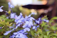 Το auriculata Plumbago ανθίζει το μαλακό υπόβαθρο θαμπάδων Στοκ εικόνα με δικαίωμα ελεύθερης χρήσης