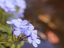 Το auriculata Plumbago ανθίζει το μαλακό υπόβαθρο θαμπάδων Στοκ Εικόνα
