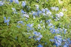 Το auriculata Plumbago, είναι ένα είδος ανθίζοντας φυτού Στοκ Φωτογραφίες