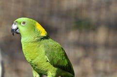 το auropalliata amazona ο παπαγάλος κίτριν Στοκ φωτογραφία με δικαίωμα ελεύθερης χρήσης