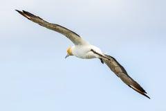 Το Australasian Gannet Στοκ φωτογραφία με δικαίωμα ελεύθερης χρήσης
