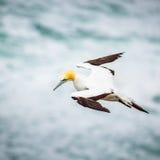 Το Australasian Gannet Στοκ εικόνα με δικαίωμα ελεύθερης χρήσης
