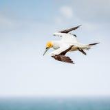 Το Australasian Gannet Στοκ Εικόνες